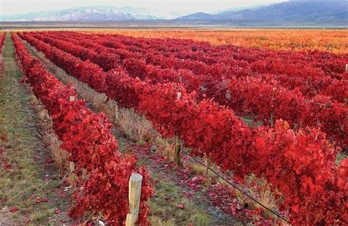 A foto traduz a beleza do Outono no parreiral.