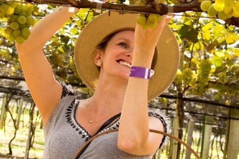 Colhendo uvas na Góes