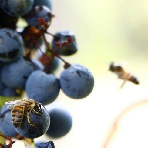 Uvas e abelhas
