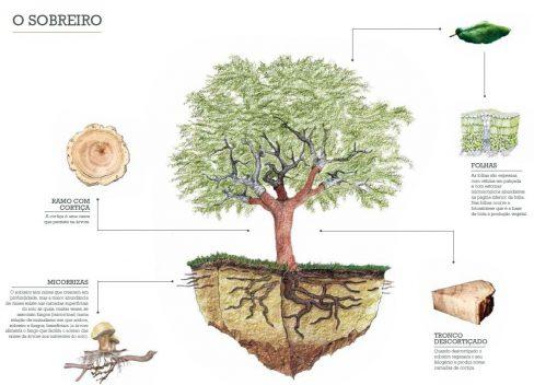Ilustração do Sobreiro-APCOR